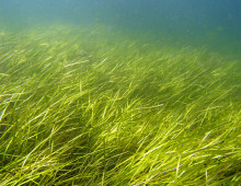 eelgrass by Christoffer Bostrom
